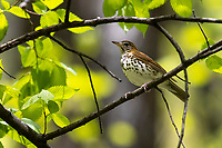 Wood Thrush (Hylocichla mustelina) on its breeding territory at Doodletown, Bear Mountain State Park, New York.