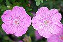 Geranium sanguineum 'Ankum's Pride', mid May. Commonly known as Bloody cranesbill, this is a compact spreading perennial to 15cm tall, with rounded leaves divided into narrow lobes, and bowl-shaped clear rose-pink flowers from early summer.