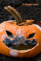 DC09-644z   Jack-o-Lantern Pumpkin placed in garden after Halloween. Molds growing on face,  Black Bread Mold, Rhizopus stolonifer