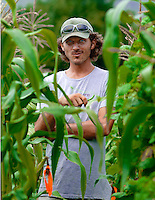 A supervising farmer samples fresh green beans from the garden at Mahele Farm, Hana's community farm, Maui.