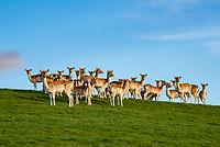 Fallow deer does, Milnthorpe, Cumbria. UK