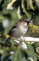 Hausspatz, Männchen, Haus-Spatz, Spatz, Haussperling, Haus-Sperling, Passer domesticus, house sparrow