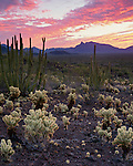 Organ Pipe Cactus National Monument, AZ: Cholla and Organ Pipe cacti of the Sonoran Desert under dawn colored sky with distant Ajo Range profile