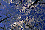Frosty Treetops, Great Smoky Mountains National Park, NC-TN