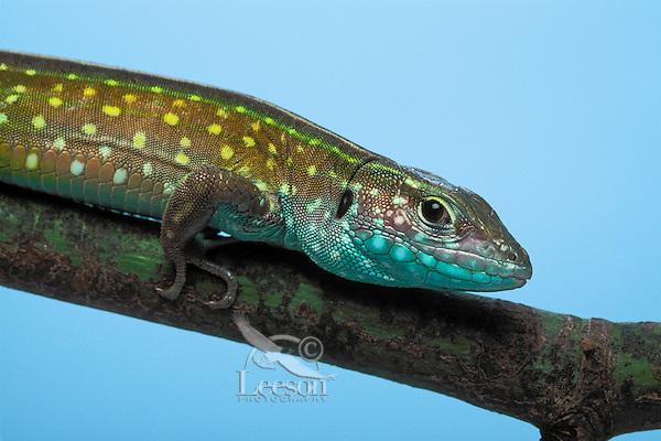 Rainbow Whiptail/Green Rainbow Lizard..Native to South America. Introduced to Florida..Captive. (Cnemidophorus lemniscatus).