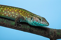 Rainbow Whiptail/Green Rainbow Lizard..Native to South America. Introduced to Florida..Captive. (Cnemidophorus lemniscatus).
