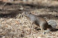 Rock Squirrel (Otospermophilus variegatus) in Madera Canyon, Green Valley, Arizona.
