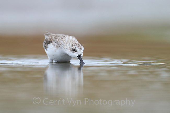 A Spoon-billed Sandpiper grabs an insect flying just above the surface of a fish pond. This species utilizes a wide range of feeding techniques depending on available food. Rudong, China. October.