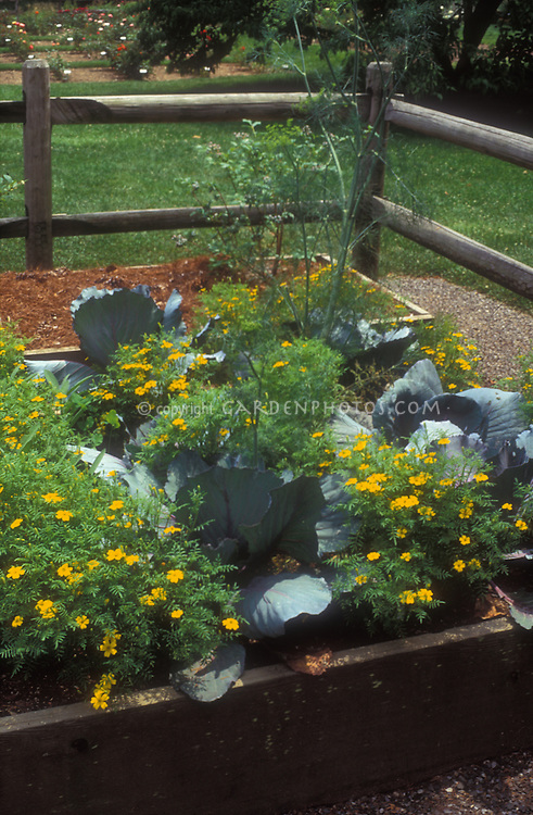 Blue cabbage vegetables and signet marigolds Tagetes in raised bed veggie garden with post and rail wooden fence