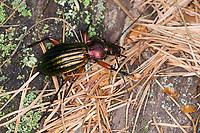 Goldglänzender Laufkäfer, Carabus auronitens, golden ground beetle, Le carabe à reflet cuivré, le carabe à reflets d'or