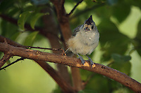 Black-crested Titmouse staying cool in the shade of a myrtle tree, and panting in quick, short little breathes..