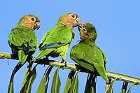 Periquito de buchecha parda<br /> Aves da Amazônia.<br /> Roraima, Brasil.<br /> Foto Jorge Macedo