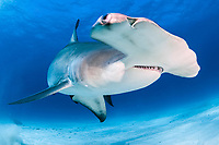 great hammerhead, Sphyrna mokarran, endangered species, South Bimini, Bimini, The Bahamas, Atlantic Ocean