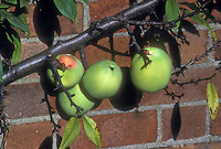 Chaenomeles cathayensis in fruit (Quince) against brick wall . Chinese Quince