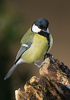 Kohlmeise, Kohl-Meise, Meise, Meisen, Parus major, great tit