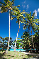 Palm trees at Cinnamon Bay.Virgin Islands National Park.St John, US Virgin Islands