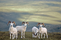 Band of Dall Sheep Rams grazing on alpine tundra at Mount Wright in Denali Naitonal Park, Alaska, AGPix_0159 .