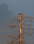 An osprey nest platform in the top of a dead ponderosa pine tree in western Montana.