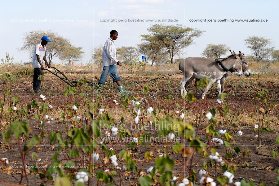 TANZANIA Meatu, organic cotton project biore of swiss yarn trader Remei AG , ploughing cotton field with donkeys