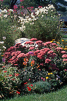 Late summer garden of Sedum, Cosmos, Cleome, Marigold, Zinnia, annuals and perennials together in flower, heirloom and old-fashioned plants