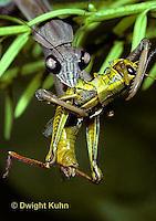 1M15-055z  Praying Mantis adult consuming insect prey - Tenodera aridifolia sinenesis