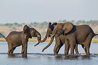 African Elephant (Loxodonta africana), females that just have been crossing the Chobe River rushed back into the water to welcome a juvenile straggler, Chobe National Park, Botswana, Africa