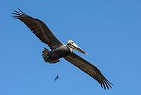 Brown Pelican (Pelecanus occidentalis) in flight. Yucatan, Mexico. February.