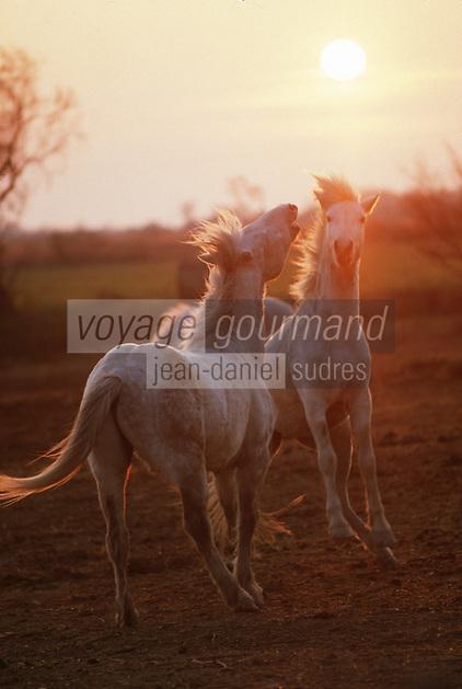 France/13/Bouches du Rhone/Camargue/Parc Naturel Régional de Camargue/Env St Maries de La Mer: Dans une manade chevaux de race camargue