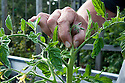 Pinching out the growing shoot of a cordon or vine tomato plant a couple of sideshoots above the uppermost flower truss.