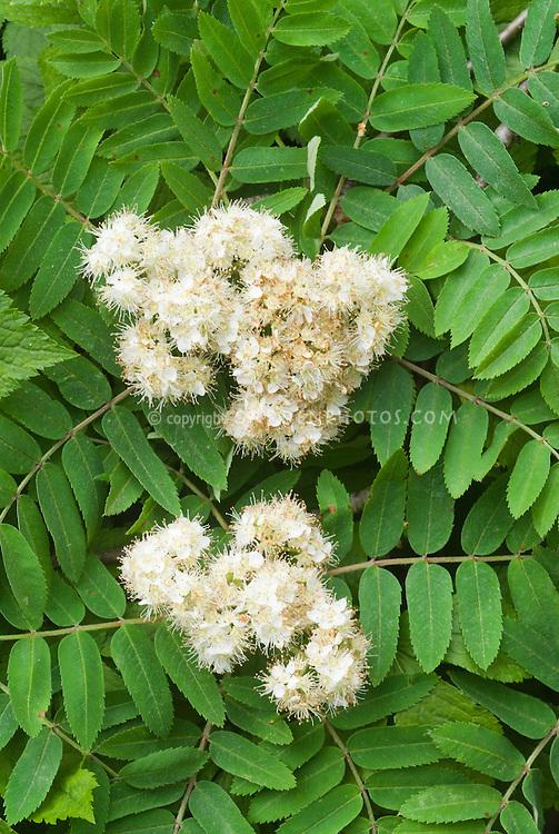 Sorbus americana in spring flower