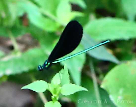 Ebony jewelwing male