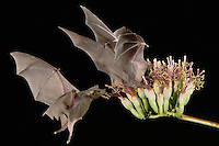 Lesser Long-nosed Bat, Leptonycteris curasoae, two adults in flight at night feeding on Agave blossom (Agave spp.),Tucson, Arizona, USA, September 2006