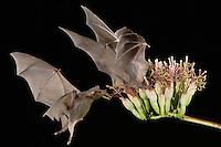 Lesser Long-nosed Bat, Leptonycteris curasoae, two adults in flight at night feeding on Agave blossom (Agave spp.),Tucson, Arizona, USA, September 2006