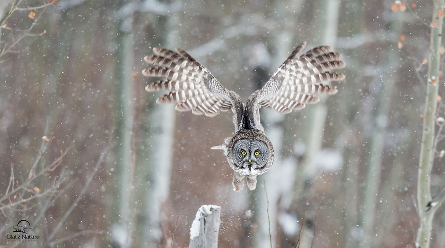 Great Grey Owl (Strix nebulosa) creates lift by raising its large and powerful wings directly overhead.  Alberta, Canada.