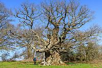 France, Indre,  Berry, Saint Civran, Saint Civran or La Bitte oak (Quercus) // France, Indre (36), Berry, Saint-Civran, chêne de Saint-Civran ou de la Bitte (Quercus)