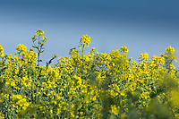 14-4-2021 Oilseed rape starting to flower<br /> ©Tim Scrivener Photographer 07850 303986<br />      ....Covering Agriculture In The UK....