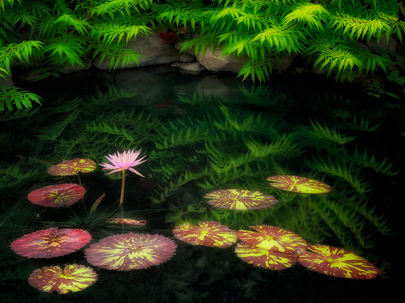 Waterlilies in pond with reflection. Oregon