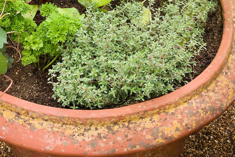 Container garden in terracotta clay potwith herbs thyme (culinary Thymus vulgaris), nasturtium, parsley