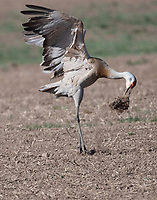 Clod throwing behavior by lesser sandhill crane. The bird would pick up a clod of sod, fly up with it, and then throw the clod. I assume this must be some kind of courtship behavior.