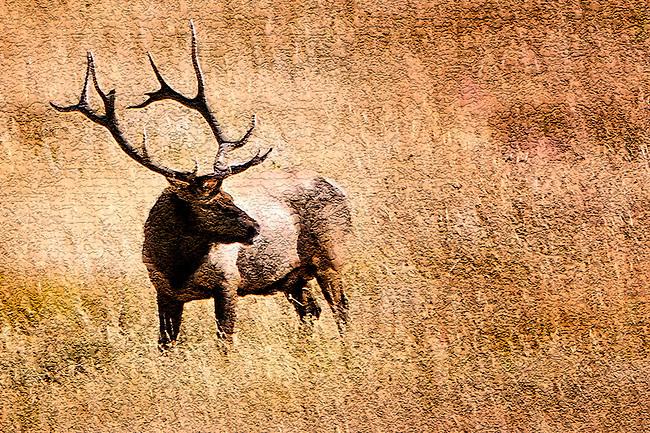 Bull elk art 3