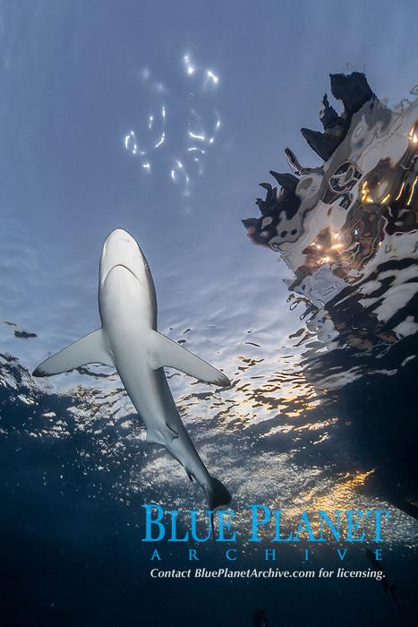 silky shark, Carcharhinus falciformis, at sunset, Socorro Island, Revillagigedo Islands, Mexico, Pacific Ocean