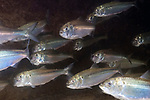 Sub-adult American shad schooling 45 degrees towarsd camera with mouths open wide feeding on plankton.