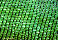 1R10-057b   Iguana - close-up of scales, from Central America - Iguana iguana