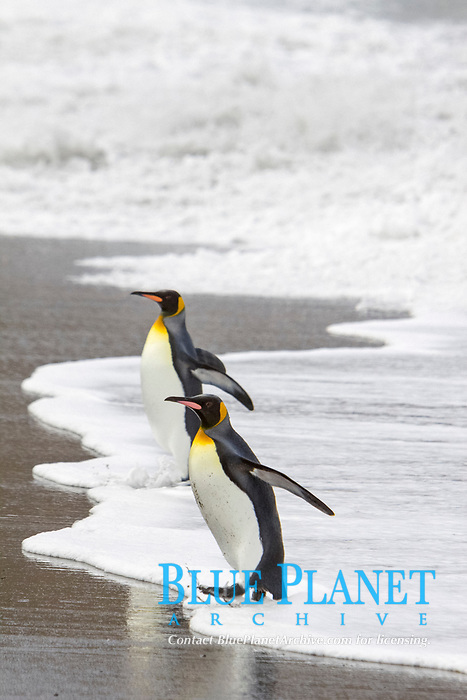 King Penguin (Aptenodytes patagonicus) pair returning from foraging at sea on South Georgia Island, Southern Ocean