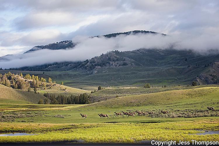 Yellowstone National Park, Lamar Valley, Elk