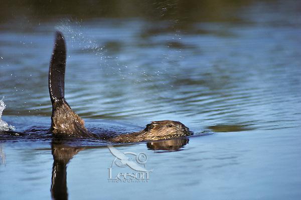 Beaver slapping tail--alarm or warning signal.  Western U.S.