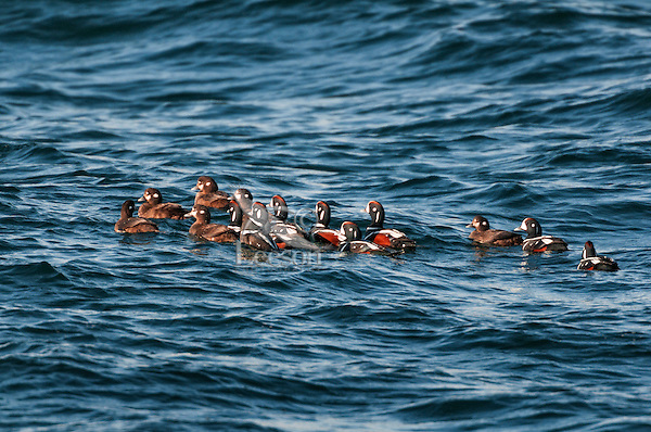 Harlequin Ducks (Histrionicus histrionicus) winter in small groups along coastal Nova Scotia, Bay of Fundy, late April, Canada.