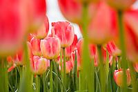 Commercial cut flower pink tulip (tulipa) 'Judith Leyster' growing in field at Tulip Festival, Skagit Valley Washington