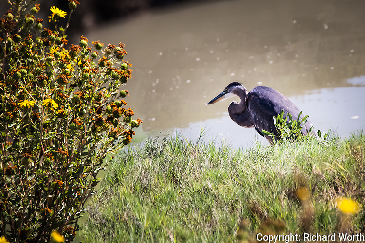 A Great blue heron prowls for food on a salt marsh in transition.  Barely a handful of yellow flowers remain on a Marsh Gumplant, a sign that summer is giving way.