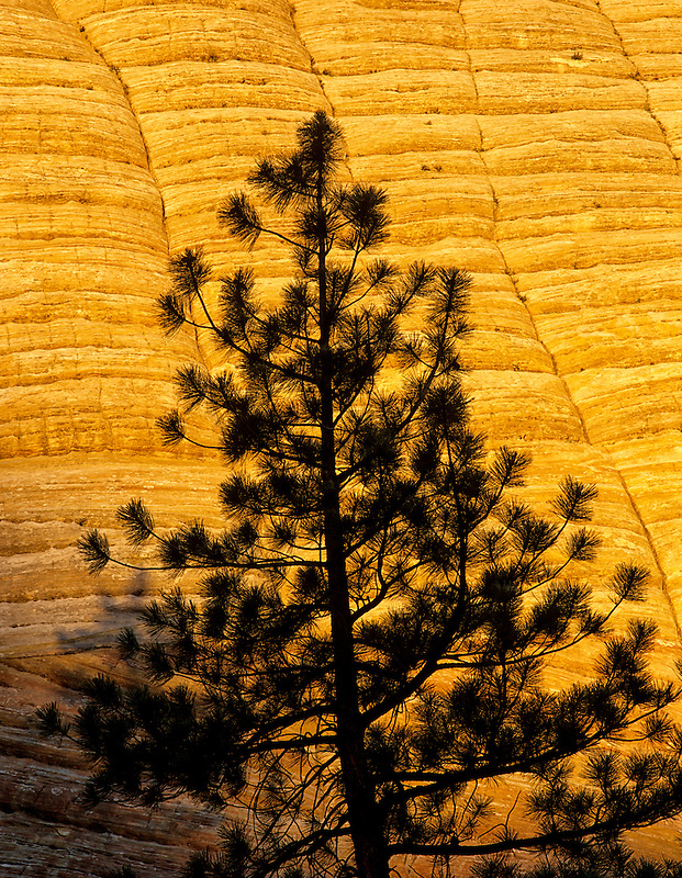 Closeup of Checkerboard Mesa with silhouetted tree. Zion National Park, Utah.